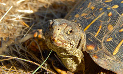 Photograph - Ornate Box Turtle by Dan Miller
