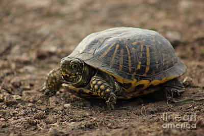 Photograph - Ornate Box Turtle by E B Schmidt