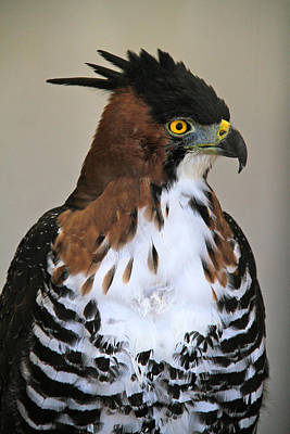 Photograph - Ornate Hawk-eagle by Ed  Riche