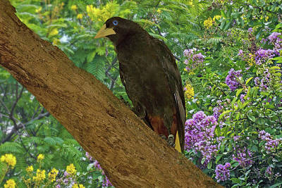 Oropendola Bird On Limb With Floral Background Art Print