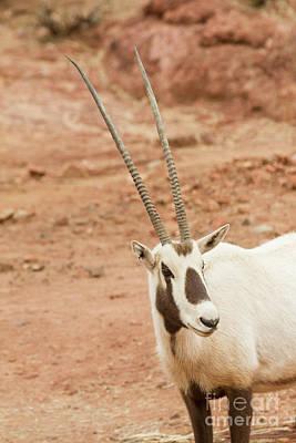 Stock Headshot Photograph - Oryx Headshot  by Ruth Jolly