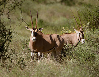 Photograph - Oryx In Samburu  by Joseph G Holland