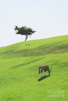 Photograph - Oryx On Hill by Jim And Emily Bush