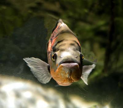 Photograph - Oscar Fish Portrait by William Bitman