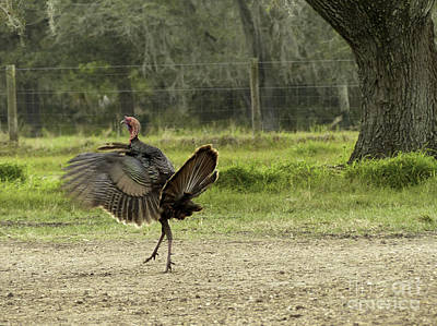 Osceola Turkey Trot Art Print by Teresa A and Preston S Cole Photography