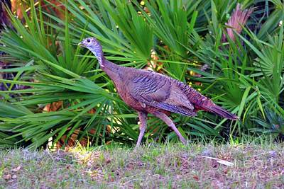 Osceola Wild Turkey At The Babcock Ranch Preserve Art Print by Sherri Hubby