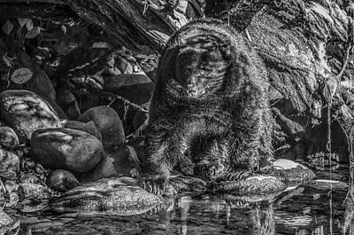 Photograph - Oservant Black Bear  by Roxy Hurtubise