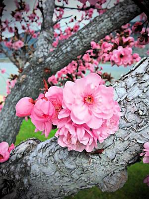 Osoyoos Spring Blossoms Art Print by John Greaves