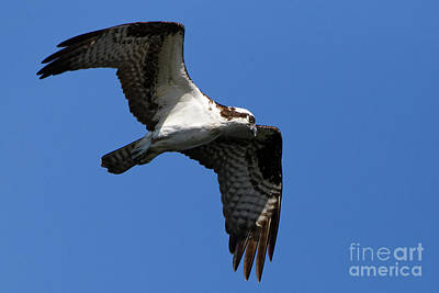 Photograph - Osprey On The Hunt by Sue Harper