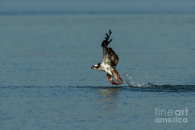Photograph - Osprey 1 - Fish 0 by Beve Brown-Clark Photography