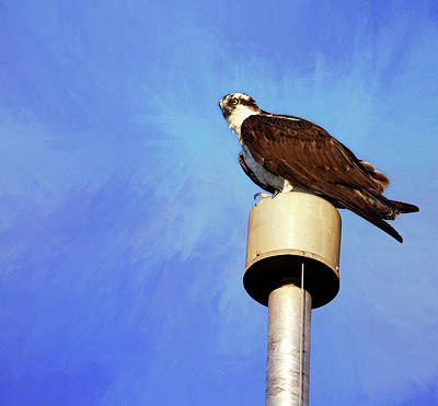 Photograph - Osprey 1 by Judy Vincent