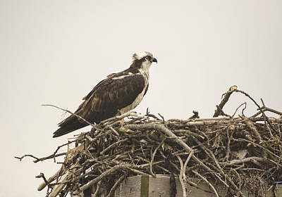 Photograph - Osprey 1 by Marianne Campolongo