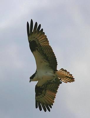 Photograph - Osprey 10 by David Dunham