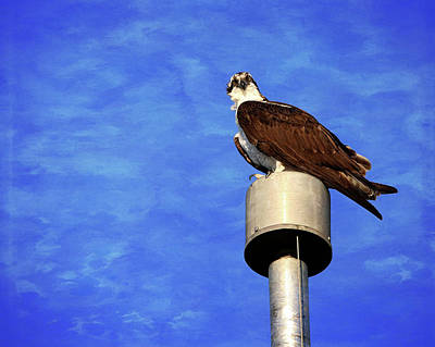 Photograph - Osprey 2 by Judy Vincent