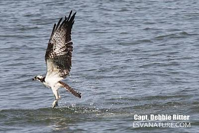 Photograph - Osprey 2015 by Captain Debbie Ritter