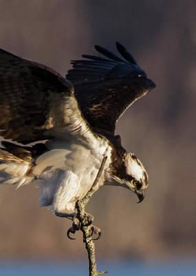 Photograph - Osprey 2017 -4 by Buddy Scott