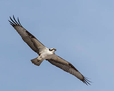 Photograph - Osprey 2018-1 by Thomas Young