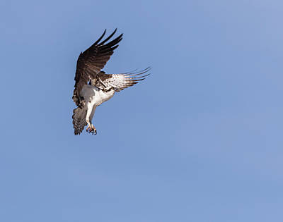 Photograph - Osprey 2018-2 by Thomas Young