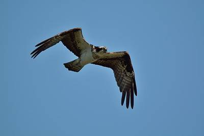 Photograph - Osprey by David Porteus