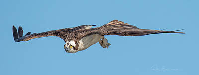 Dan Beauvais Royalty-Free and Rights-Managed Images - Osprey 3649 by Dan Beauvais
