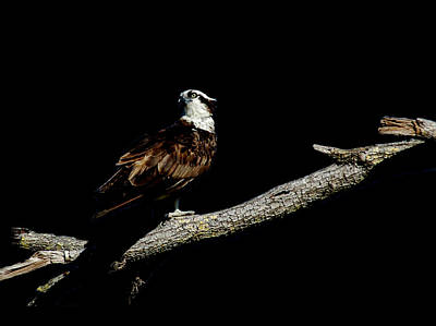 Photograph - Osprey 4 by David Weeks