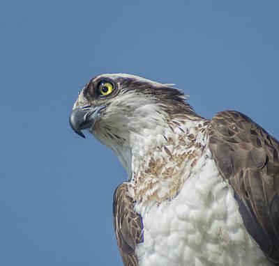 Photograph - Osprey 4 by Rick Mosher