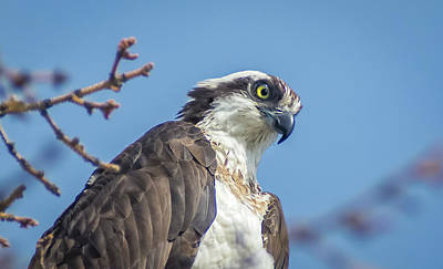 Photograph - Osprey 8 by Rick Mosher