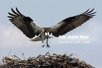 Photograph - Osprey 8132 by Captain Debbie Ritter