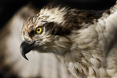Eyes Photograph - Osprey by Adam Romanowicz