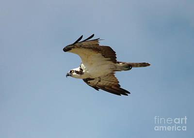 Photograph - Osprey Against Blue Sky by Carol Groenen