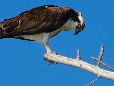 Photograph - Osprey by Alan Lakin