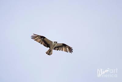 Photograph - Osprey by Alana Ranney
