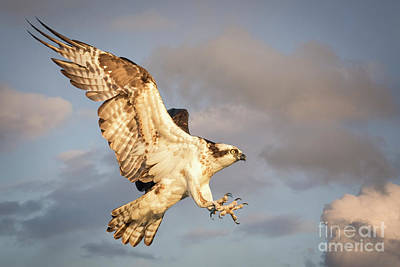 Photograph - Osprey  by Alice Cahill