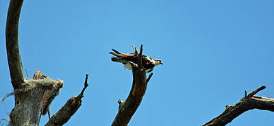 Photograph - Osprey And Blue Sky by Cynthia Guinn