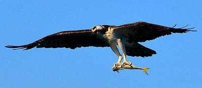 Photograph - Osprey And Catch Vertical by David Lee Thompson