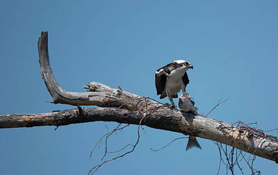 Photograph - Osprey And Fish by Jack Nevitt