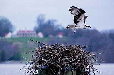 Photograph - Osprey And Mount Vernon 2 by Buddy Scott
