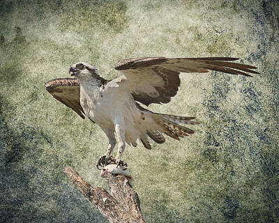 Photograph - Osprey And Prey by Rudy Umans