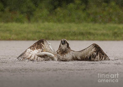 Photograph - Osprey And Trout by Keith Thorburn LRPS