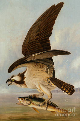 Hawk Bird Painting - Osprey And Weakfish by John James Audubon