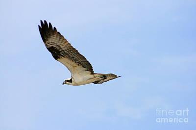 Photograph - Osprey by Angela Rath