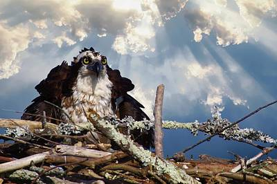 Photograph - Osprey Angry by Buddy Scott