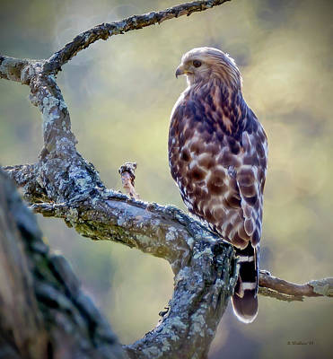 Photograph - Leucistic Red-shouldered Hawk 1 by Brian Wallace