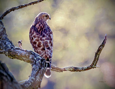 Photograph - Leucistic Red-shouldered Hawk 2 by Brian Wallace