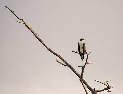 Photograph - Osprey At Sunset by Loree Johnson
