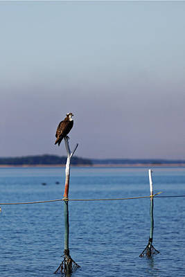 Photograph - Osprey At The Fishtrap by Steve Gravano