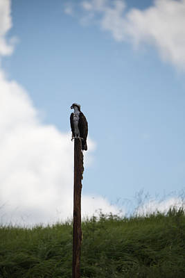 Photograph - Osprey Awaits by Christopher L Thomley