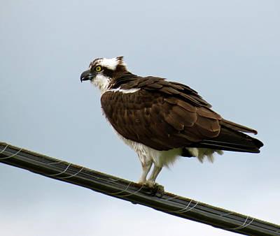 Photograph - Osprey by Azthet Photography
