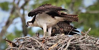 Photograph - Osprey Babies by Paulette Thomas