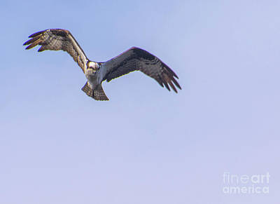 Belmont Lake State Park Wall Art - Photograph - Osprey, Belmont Lake New York by Joan D Squared Photography